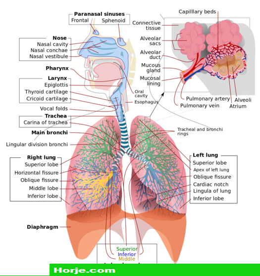 How to Draw the Human Respiratory System