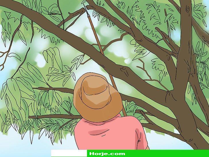How to Prune a Mango Tree