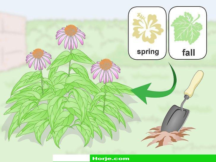 How to Divide Coneflowers