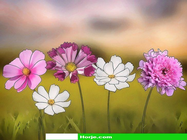 How to Grow Cosmos Flowers